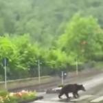 Avem de învățat se la animale: un urs traversează pe o trecere de pietoni din Sinaia!